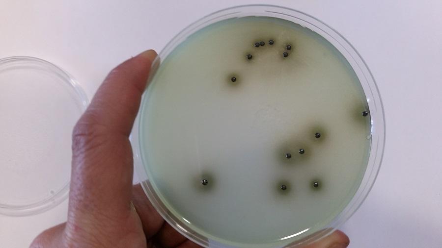Salmonella_web