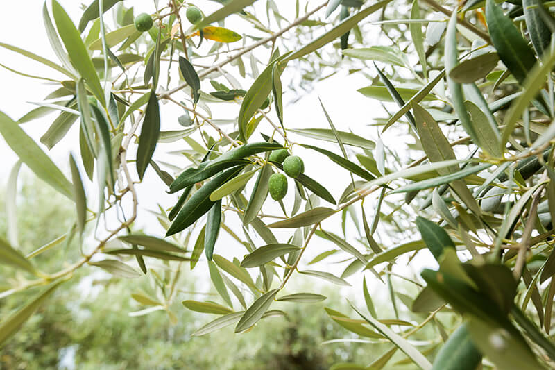 árbol aceituna