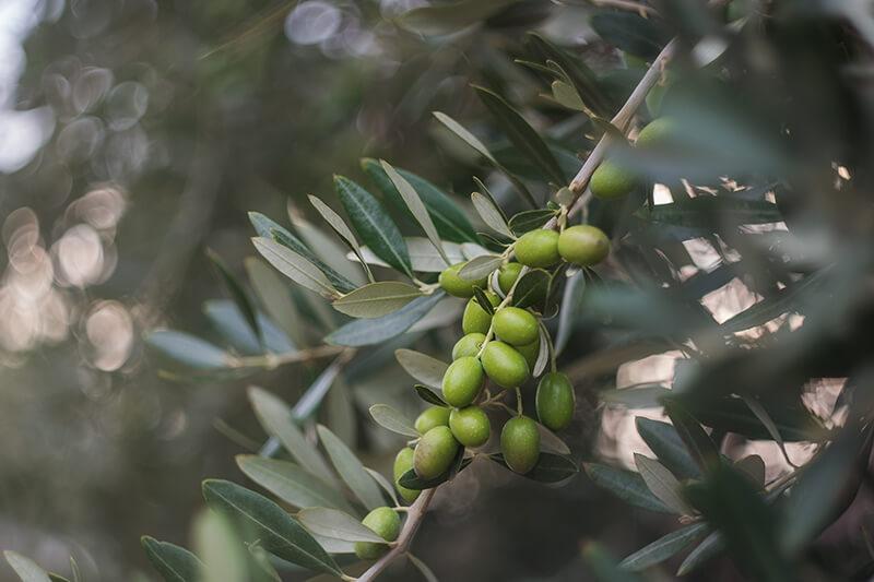 rama de olivo con aceitunas